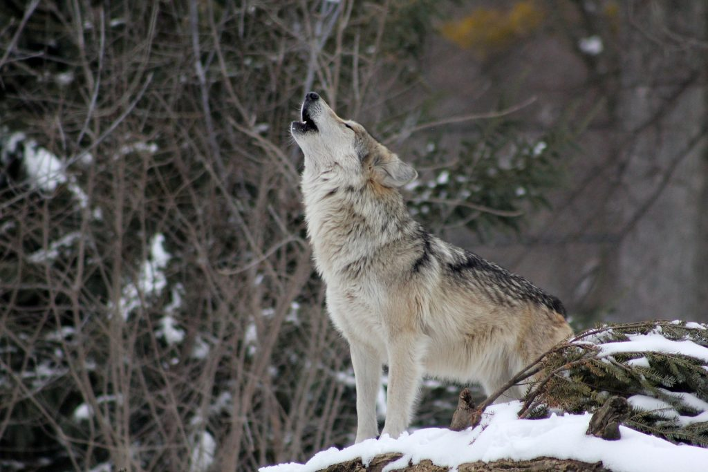 Capricorn (22nd December to 19th January)-Spirit Animal Wolf
