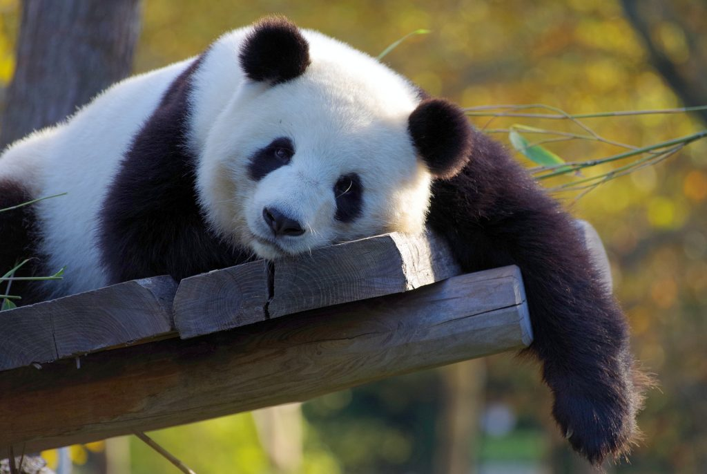 Libra (23rd September to 22nd October)- Spirit Animal Panda
