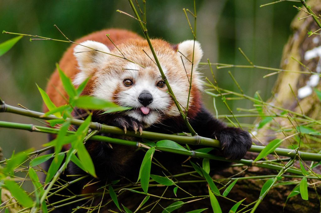 Sagittarius (22nd November to 21st December)-Spirit Animal Red Panda