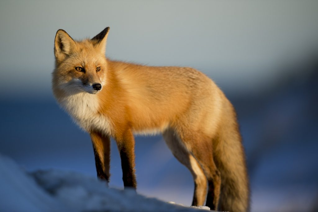 Virgo (23rd August to 22nd September)- Spirit Animal Fox