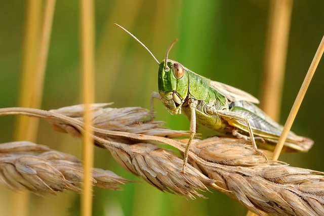 Locust Attack- India Battles with Infestation| Astrological Aspect