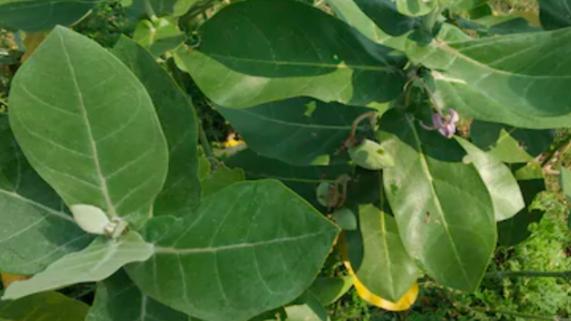 गणपति पौधा घर में कैसे लाता है खुशहाली जानें विस्तार से