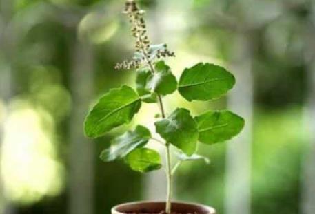तुलसी का पौधा आँगन में लगाना क्यों माना गया है शुभ, जानें