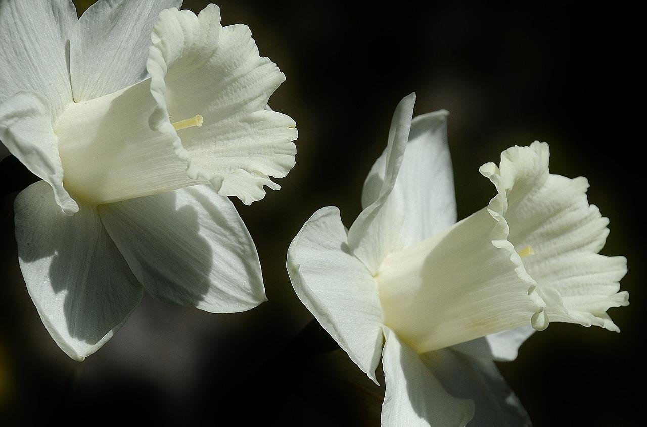Vastu Shastra for Daffodils