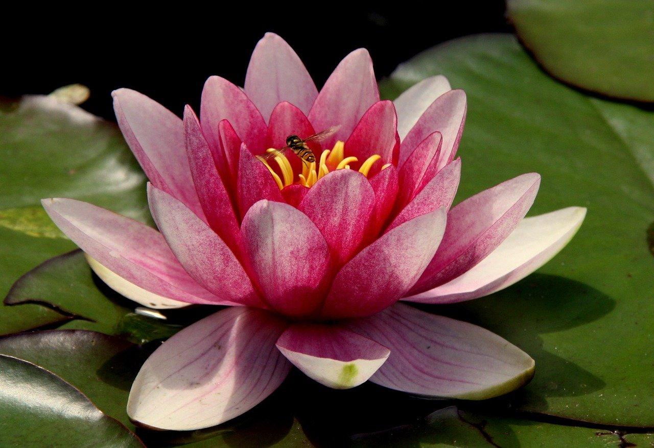 Vastu Shastra for Lotus Plant