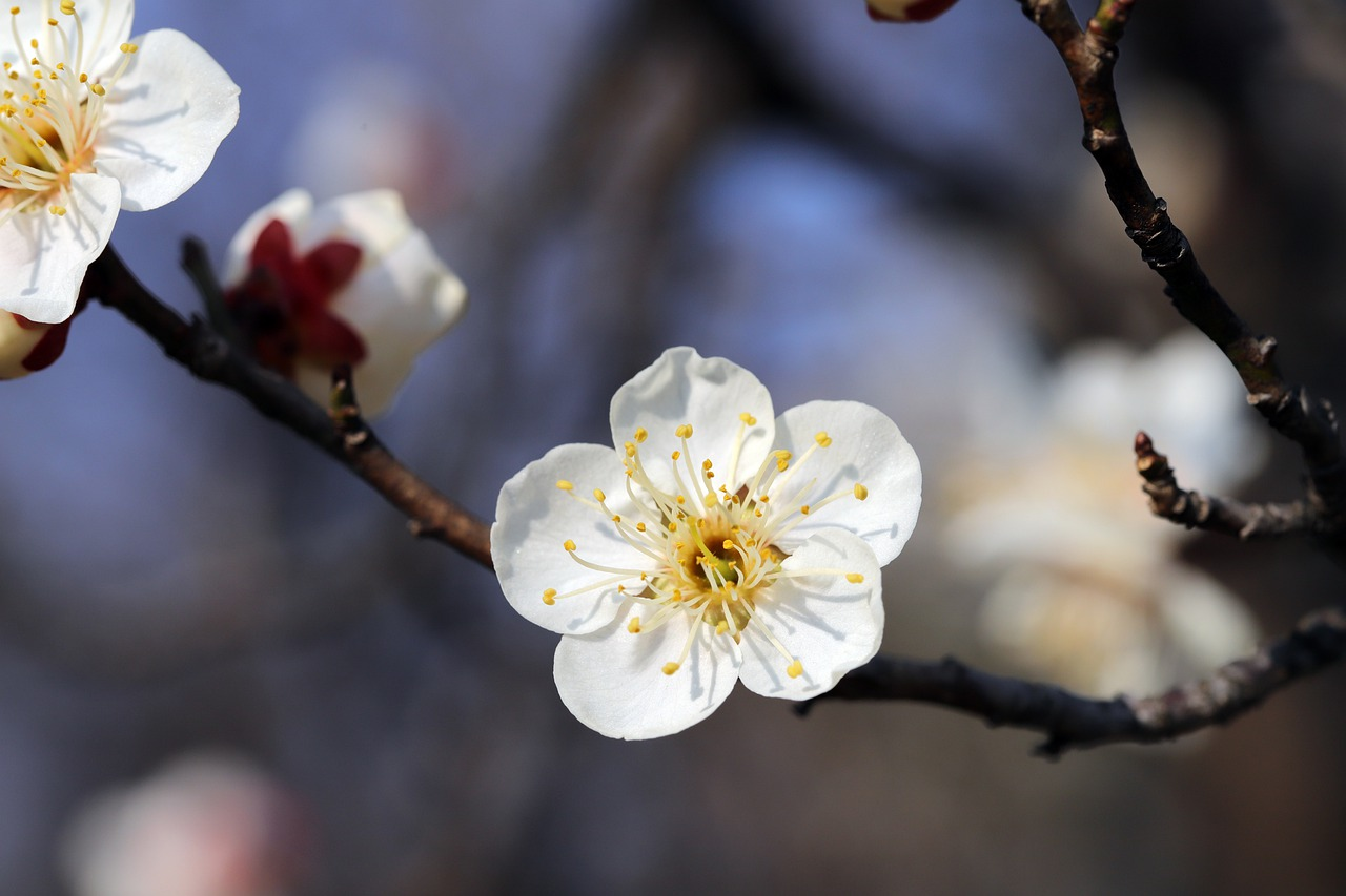 Shastra for Plum Blossoms