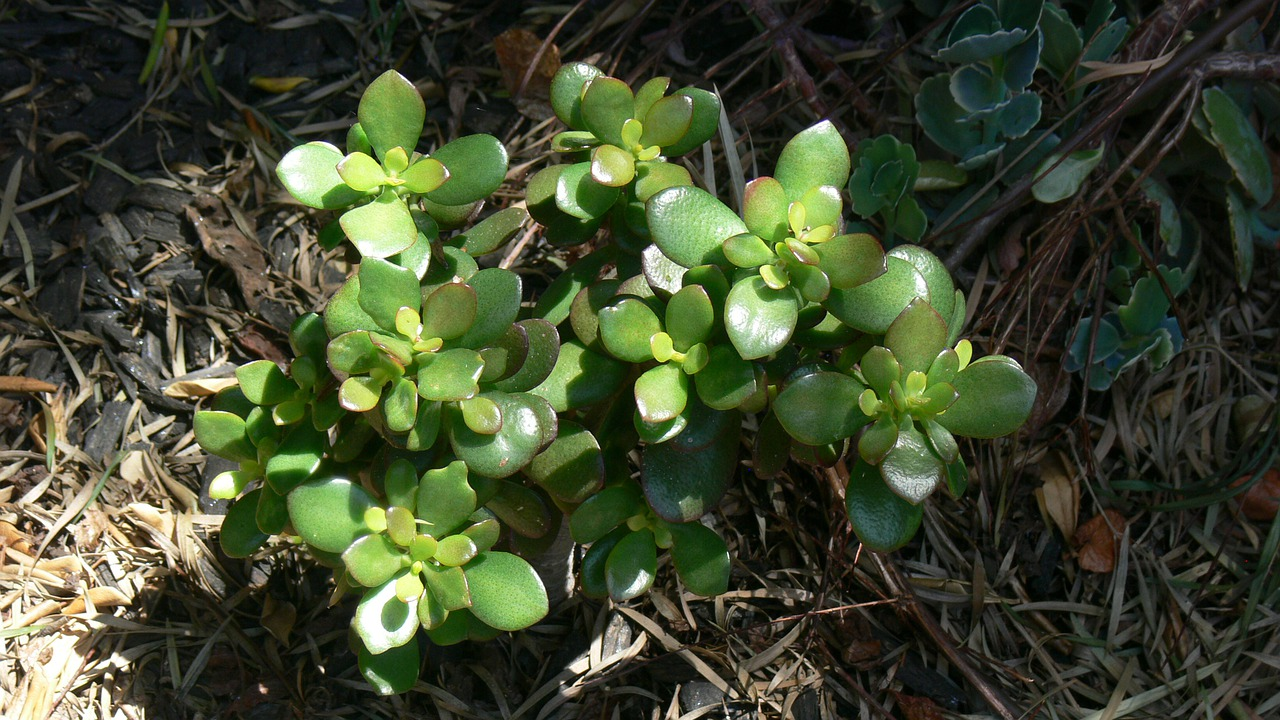 Vastu Shastra for Jade Plant