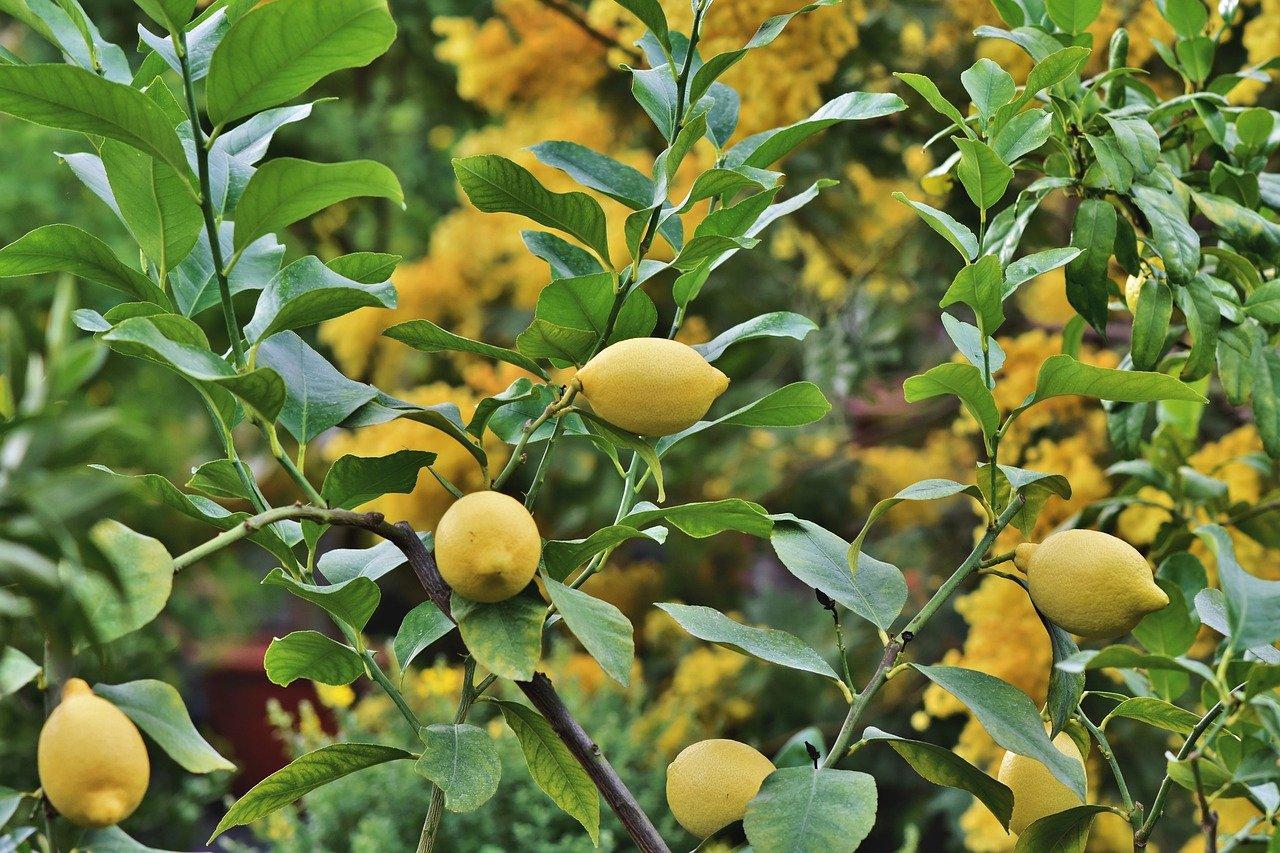 Vastu Shastra for Lemon Tree
