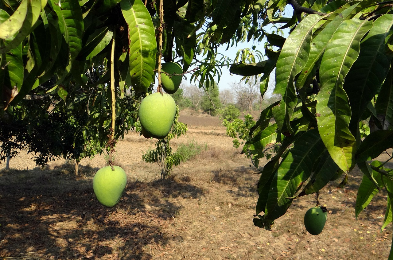 Vastu Shastra for Mango Tree