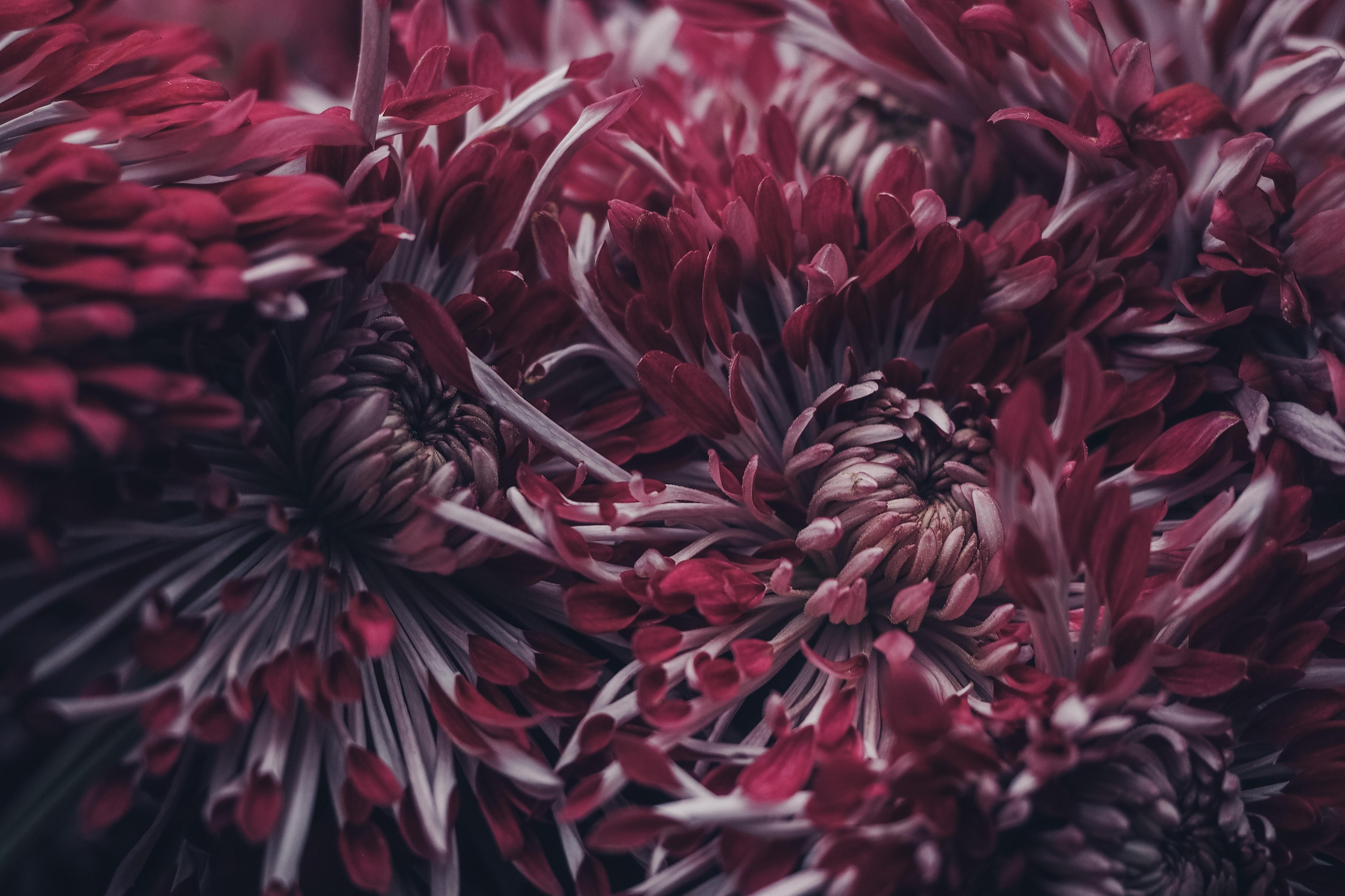 Vastu Shastra for Chrysanthemum